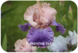 Tall bearded iris Florentine Silk