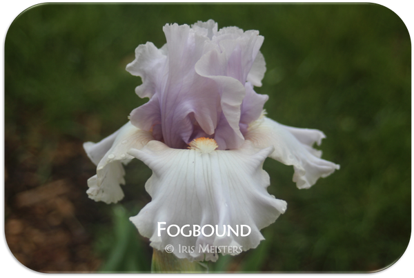 Tall bearded iris Fogbound