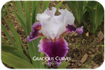 Tall bearded iris Gracious Curves
