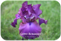 Tall bearded iris Gypsy Romance