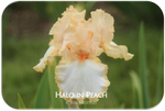 Tall bearded iris Halo in Peach