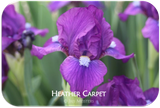 Standard Dwarf Bearded iris Heather Carpet
