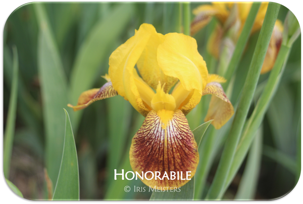 Miniature Tall Bearded iris Honorabile