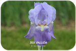 Tall bearded iris Iris pallida