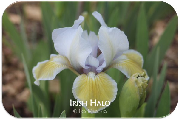 Standard Dwarf Bearded iris Irish Halo