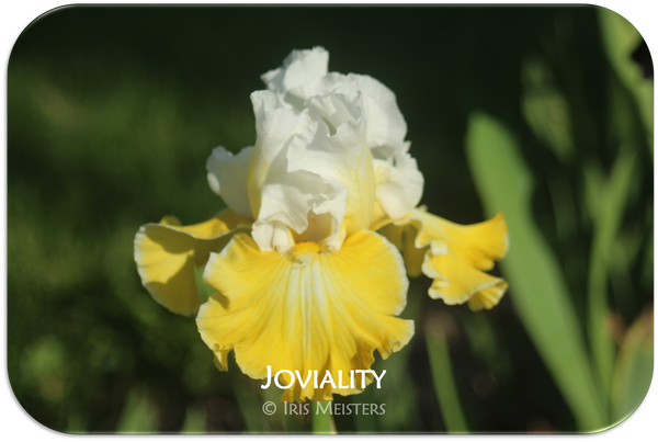 Tall bearded iris Joviality