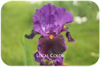 Tall bearded iris Local Color