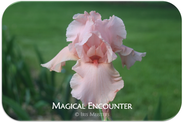 Tall bearded iris Magical Encounter