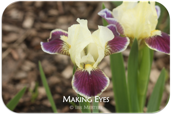 Standard Dwarf Bearded iris Making Eyes