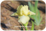 Intermediate bearded iris Maui Moonlight