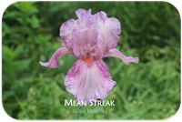 Tall bearded iris Mean Streak