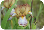 Miniature Tall Bearded iris Merit