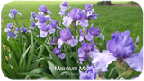 Tall bearded iris Missouri Mist