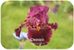Tall bearded iris Obsessed