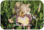 Tall bearded iris Ominous Stranger