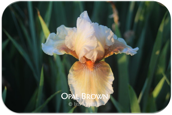 Tall bearded iris Opal Brown
