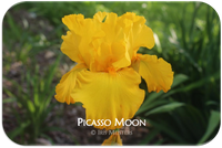 Tall bearded iris Picasso Moon