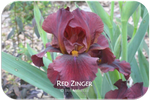 Intermediate bearded iris Red Zinger