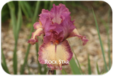 Tall bearded iris Rock Star