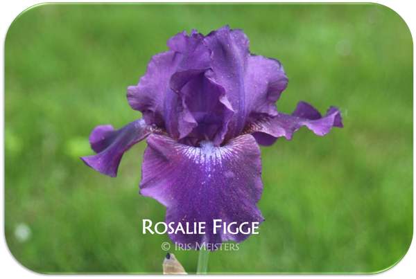 Tall bearded iris Rosalie Figge Reblooming