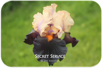 Tall bearded iris Secret Service