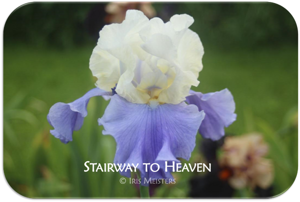 Tall bearded iris Stairway to Heaven