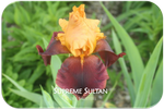 Tall bearded iris Supreme Sultan