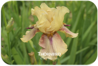 Tall bearded iris Thornbird Space Age