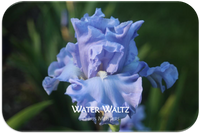 Tall bearded iris Water Waltz