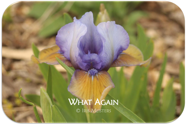 Standard Dwarf Bearded iris What Again