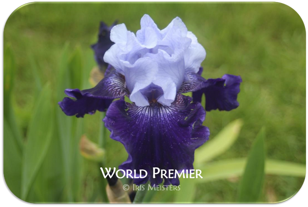 Tall bearded iris World Premier
