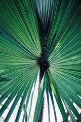 Saw Palmetto for hair loss and thinning hair DHT blocker