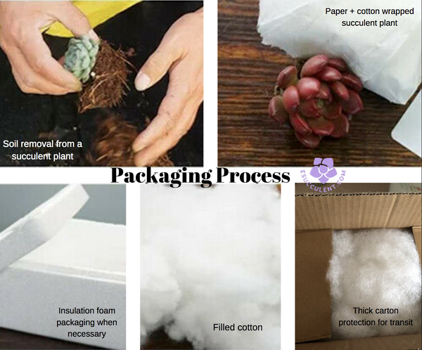 eSucculent Packaging Process