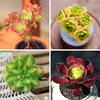 Aeonium Succulents For Sale - Set Of 4