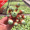Aeonium Dodrantale or commonly known as Mountain Rose, Greenovia Dodrantalis is an evergreen, perennial succulent. A Best Seller for succulent online sales.