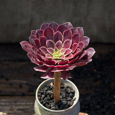 Aeonium Zwartkin is a Collectors Choice Succulent. Super Cool Bloom.  Bright Rosettes and Fast Growing Succulent!