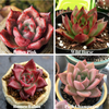 Echeveria - Buy 3 Get 1 FREE