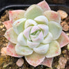 Echeveria Cream rose