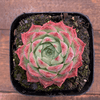 Echeveria Elegans Red Hybrid