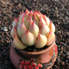 Echeveria Peach Blossom Fairy