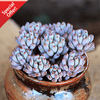 Graptopetalum Pachyphyllum Blue Bean is a hardy succulent and generally a low maintenance plant. They are easy to take care, grow and propagate.