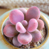 Graptopetalum amethystinum (Rose) Walther