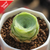 Greenovia Diplocycla Gomera 'Green Rose Succulent' - Special Deal