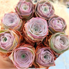 ROSE SUCCULENTS