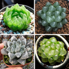 Haworthia Succulents For Sale - Set Of 4