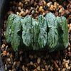 "Haworthia Truncata ""R2"""