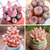 Pink Succulents For Sale - Set Of 4