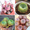Rose Succulents Special Deal C