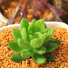 Sedum Green Dolly