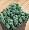 Sedum dasyphyllum 'Major'